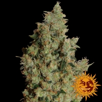 Tangerine Dream Feminised Cannabis Seeds | Barney's Farm