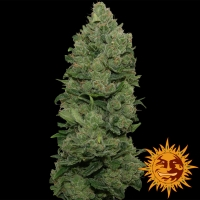 Top Dawg Feminised Cannabis Seeds | Barney's Farm