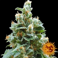 Vanilla Kush Feminised Cannabis Seeds | Barney's Farm