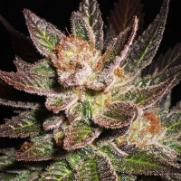 Lavender Regular Cannabis Seeds | Soma Seeds