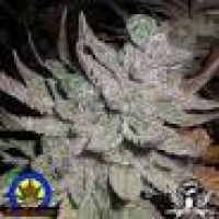 Lebanese x Skunk # 1 Regular Cannabis Seeds | Next Generation Seeds