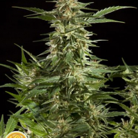Lemon Auto CBD Feminised Cannabis Seeds | Philosopher Seeds