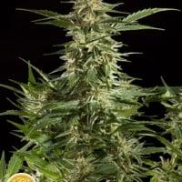 Lemon Auto CBD Feminised Cannabis Seeds   Philosopher Seeds