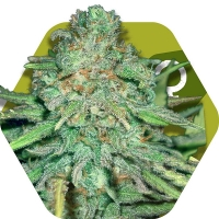 Lemon Kush Feminised Cannabis Seeds | Zambeza Seeds