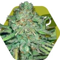 Lemon Kush Feminised Cannabis Seeds | Zambeza Seeds