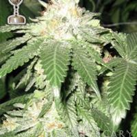 Buy Apothecary Genetics Lemon OG Regular Cannabis Seeds