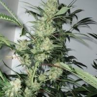 Leshaze Feminised Cannabis Seeds