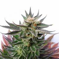 LOL Feminised Cannabis Seeds   Kannabia
