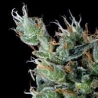 Magnum Platinum Haze Feminised Cannabis Seeds | Delta 9 Labs