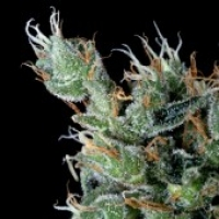 Magnum Platinum Haze Feminised Cannabis Seeds