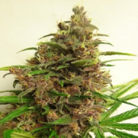 Malawi X PCK Feminised Cannabis Seeds | Ace Seeds