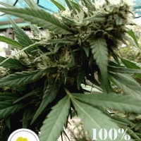 Malawi Gold Regular Cannabis Seeds | Seeds of Africa