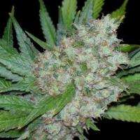 Mama Mia Feminised Cannabis Seeds | Seedsman