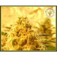 Dr Krippling Mango Mist Shake Kali's Fruitful Feminised Cannabis Seeds For Sale