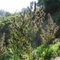 CBG Mangobiche Regular Cannabis Seeds