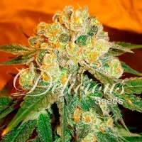 Marmalate Regular Feminised Cannabis Seeds | Delicious Seeds