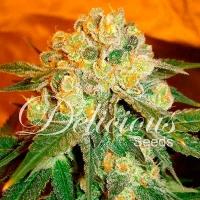 Marmalate Regular Feminised Cannabis Seeds | Delicious Seeds