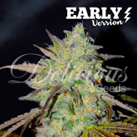 Marmalate Early V Feminised Cannabis Seeds | Delicious Seeds