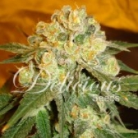 Marmalate Feminised Cannabis Seeds | Delicious Seeds