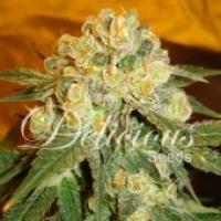 Marmalate Feminised Cannabis Seeds | Delicious Seeds