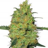 Master Kush Auto Feminised Cannabis Seeds | White Label Seed Company