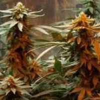 Master Kush Regular Cannabis Seeds | Nirvana