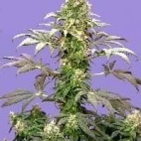Matanuska Tundra Feminised Cannabis Seeds (AKA Alaskan Thunderfuck)   Sagarmatha Seeds