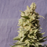 Mataro Blue Feminised Cannabis Seeds