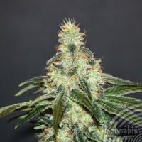 Mataro Blue CBD Feminised Cannabis Seeds | Kannabia