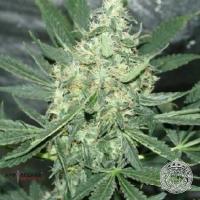 Maui OG Regular Cannabis Seeds | Apothecary Genetics Seeds