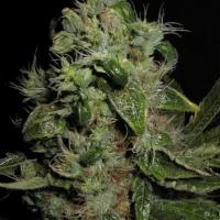 Mazari Feminised Cannabis Seeds | Seedsman