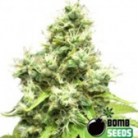 Bomb Seeds Medi Bomb #1 Feminised Cannabis Seeds For Sale