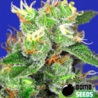 Bomb Seeds Medi Bomb #2 Feminised Cannabis Seeds For Sale