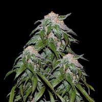 Medical VIP Feminised Cannabis Seeds