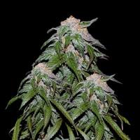 Medical VIP Feminised Cannabis Seeds