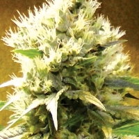 Afghani Regular Cannabis Seeds