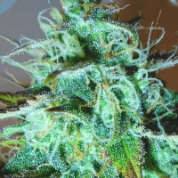 Black Afghani Kush Regular Cannabis Seeds