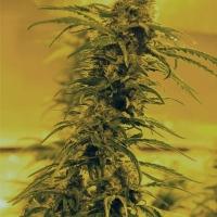 Black Blood Feminised Cannabis Seeds