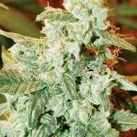Kush Fromage Auto Feminised Cannabis Seeds