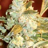 Kush Fromage Regular Cannabis Seeds