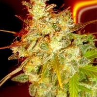Mazari Grape Regular Cannabis Seeds