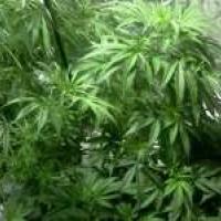 Nirvana Medusa Feminised Cannabis Seeds