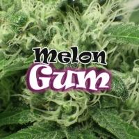 Melon Gum Feminised Cannabis Seeds | Dr Underground