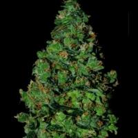 Membrana Auto Feminised Cannabis Seeds