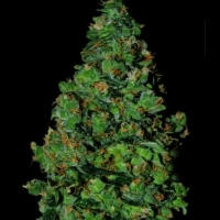 Membrana Auto Feminised Cannabis Seeds
