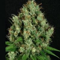 Mendo Diesel Regular Cannabis Seeds | Apothecary Genetics Seeds