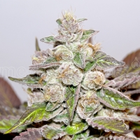 Mendocino Purple Kush Feminised Cannabis Seeds | Medical Seeds