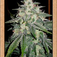4 Assed Monkey Auto Feminised Cannabis Seeds | Mephisto Genetics