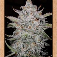 Forum Stomper Auto Feminised Cannabis Seeds | Mephisto Genetics