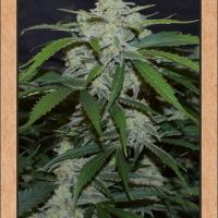 Fugue State Auto Feminised Cannabis Seeds | Mephisto Genetics